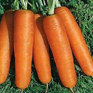 ROSSA F1 HY CARROT SEEDS