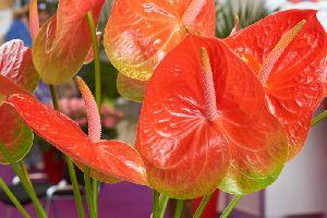 Fresh Anthurium Flower