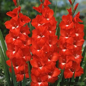 Fresh Red Gladiolus Flower