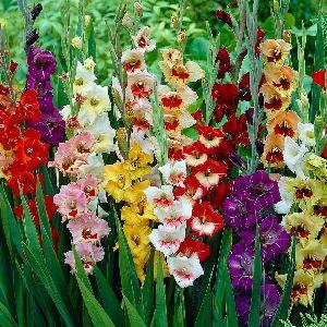 Fresh Multicolor Gladiolus Flower