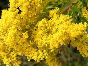 Fresh Goldenrod Flower