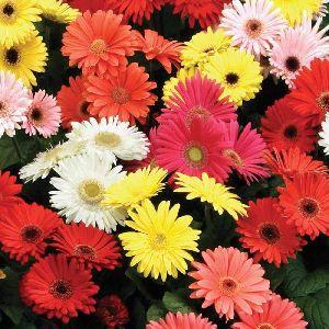 Fresh Hybrid Gerbera Flower