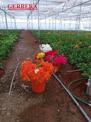 Fresh Gerberas Flowers