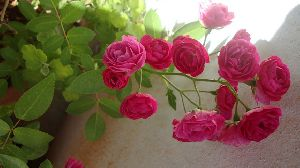 Button Rose