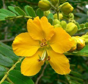 Nation Dry Senna Flower