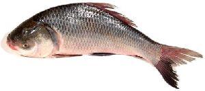Frozen Katla Fish