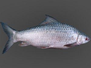 Frozen Mrigal Fish