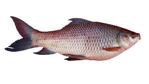 Frozen Rohu Fish