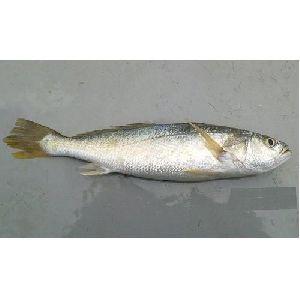 Frozen Silverfish