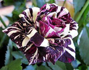 Black Dragon Rose Bush Flower Seeds
