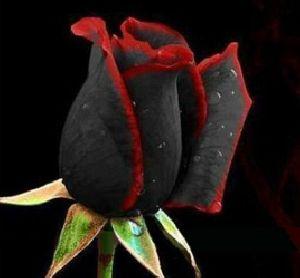 Black Rose Flower seeds
