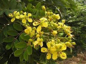 Kassod Tree Seeds