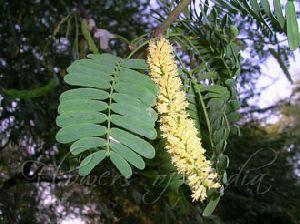 Mesquite Seeds