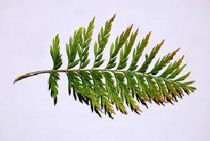 silver oak seeds