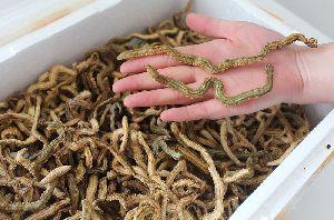 Dry Lugworm,Dry Green Lugworm