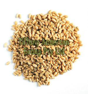 Wheat Grain/Wheat grain - Hard wheat For human consumption