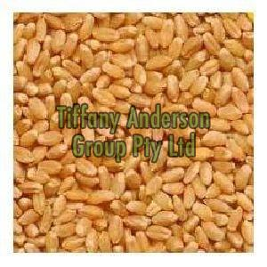 Wheat Grain,Wheat Grains Seeds