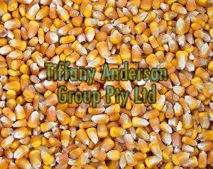 Yellow Corn & White Corn/Maize for Human & Animal Feed