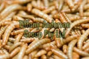 High Protein Yellow Mealworms