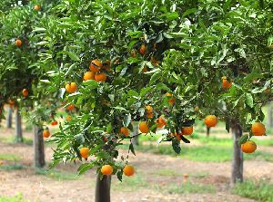Orange Fruit Plants