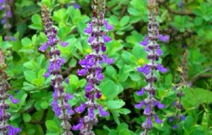 Coleus Forskohlii Herb Extract