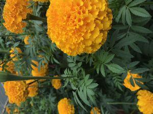 Marigold Seeds Orange