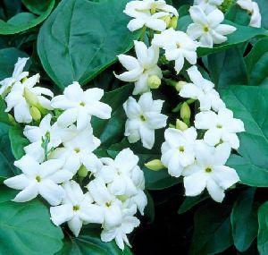 Arabian Jasmine Flower