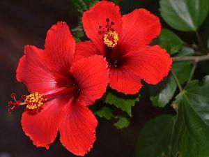 China Hibiscus Flower