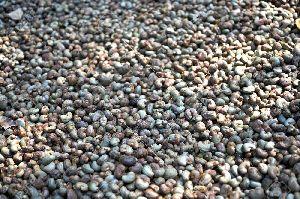 Raw Sun-dried Cashew Nuts In Shell
