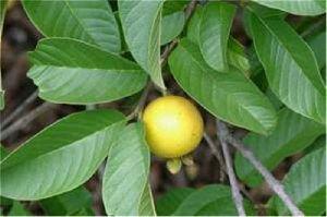 Guava Leave Powder