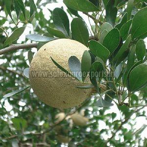 Fresh Wood Apple