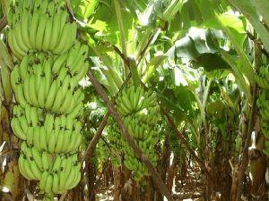 Banana Plant