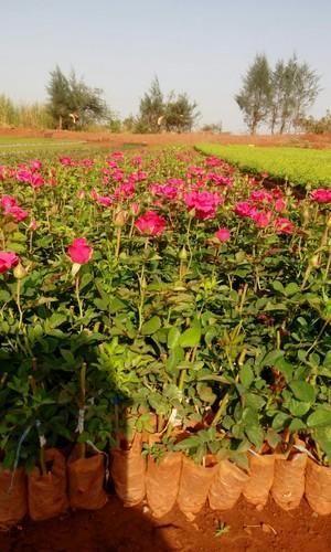 Hot Shot Dutch Rose Plant