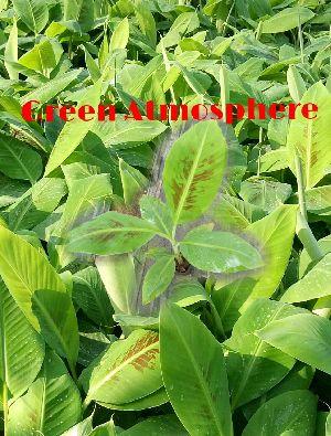 Grand Naine (g9) Tissue Culture Banana Plants