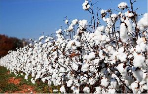 Cotton Seed Plants
