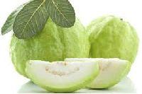 Allahabad Safeda Guava Plant