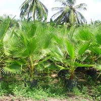 Washingtonia Palm Plant