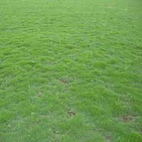 Mexican Lawn Grass