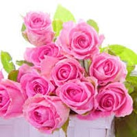 Fresh Pink Rose Flowers