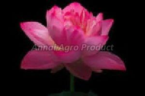 Lotus Flower At Best Price From Lotus Flower Suppliers Wholesalers