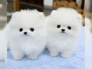 Affectionate Pomeranian Puppies For Adoption