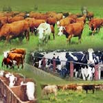 Cattle Feed Bentonite Powder