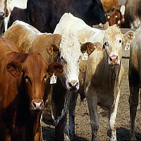 Cattle Feed Grade Bentonite (Gold Stone)