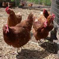 Poultry Grade Bentonite (Agriculture Granules)