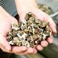 Moringa Plantation Seed
