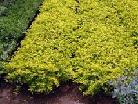 Duranta Plants