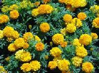 Marikozhunthu (marigold) Handmade Herbal Perfume