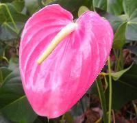 Anthuriums Flower