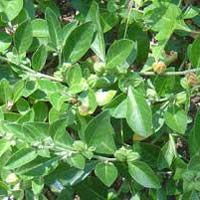 Ashwagandha Leaves