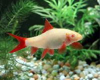 Red Tail Rainbow Shark Fish